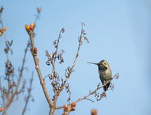 USA, Washington State. Anna's Hummingbird (Calypte Anna) Male On Perch Defending Territory. Kirkland.