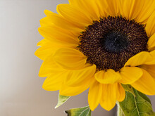 Detail Of Bright Yellow Sunflower. Natural Light With Details Of The Flower.