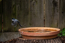 Great Tit Bird, Parus Major, In Flight With Wet Feathers After A Bird Bath