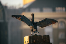 Close-up Of Cormorant Landing Against Blurred Background