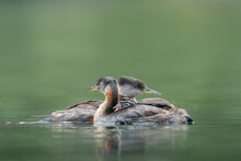 USA, Washington State. A Red-necked Grebe (Podiceps Grisegena) Family With Chick Aboard On Lake In Okanogan County.
