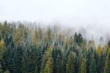 Pine Trees In Foggy Forest Against Sky