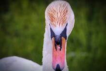 Close-up Of Bird Mute Swan