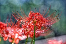 Raindrops On The Red Spider Lilies