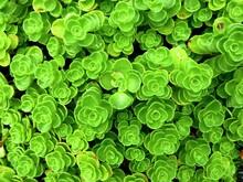 Full Frame Shot Of Green Succulent Plants