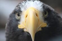 The Face Of A Bald Eagle
