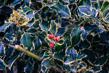 Holly Plants Or Llex