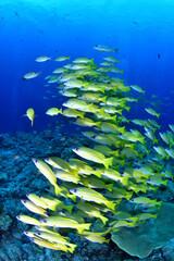 Fototapeta na wymiar 黄色い魚、ヨスジフエダイの群