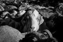 Close-up Black And White Portrait Of A Goat