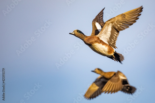 Fotografie, Obraz Drake American Wigeon Gains Altitude with Powerful Wing Beats