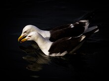 Close-up Of Seagull Swimming In Lake