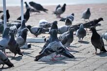 Flock Of Pigeons On Footpath