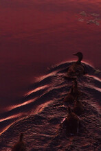 Duck Swimming In Water During Pink Sunset