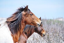 Chincoteague Pony  In A Field