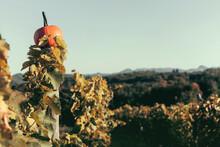 Pumpkin In Vineyard. Autumn Colors, Fall.