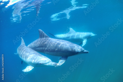 Fototapety, obrazy: 日本海、能登島のイルカの家族