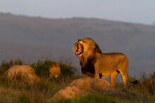 View Of A Lion Taking  Control  Of His Territory