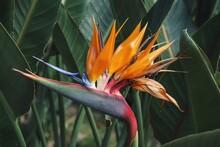 Close-up Of Orange Flower Bird Of Paradise