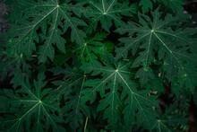Green Papaya Leaves