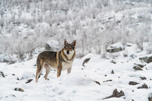 Wolf On Snow Covered Land