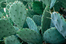 Green Cactus Prickly Pear With Big Needles Close-up. Opuntia