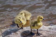 Goslings Leaving The Lake
