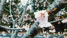 Close-up Of Pink Sakura Blossom Tree
