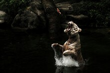 Full Length Of A Leaping White Tiger