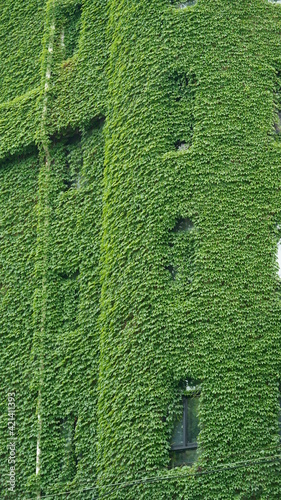 Fotografiet The old buildings located in Shanghai covered by the green creeper plant in summ