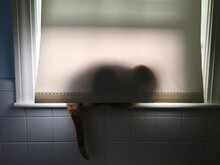Cat Sitting On Window Sill Hiding Behind Curtain
