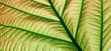 Full Frame Shot Of Fig Leaves