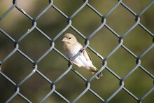 Close-up Of Bird Perching On Chainlink Fence