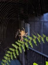 Orb Spider