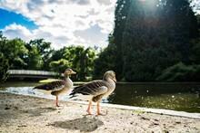 Quack Quack, Ducks In Kassels Aue