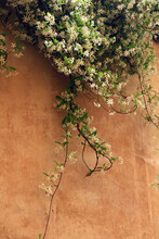 Blooming Creeper Plant On Wall