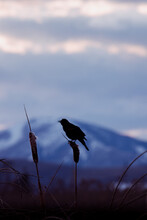 Silhouette Of A Red-winged Blackbird With A Mountain In The Background And Colorful Sunset