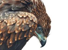 Indian Black Kite Bird Closeup