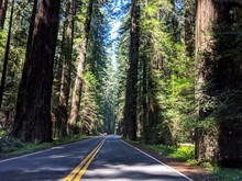 Road Along Icon Giant Redwood Trees In Forest In Northern California