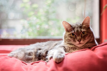 Tabby Cat, Sitting On Red Couch, In Front Of Window, Staring Into Camera