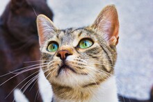 Close-up Photo Of A Grey And White Stray Cat, Young Male Kitty With Beautiful Green Eyes