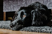 Close-up Of Dog Lying Down On Floor At Home