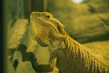 Bearded Dragon When Defending Or Breeding Time The Panel On The Neck Will Expand Like A Beard.