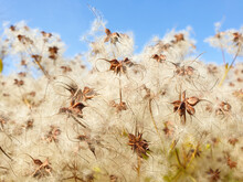 Dry Seed Heads Of Wild Clematis Clematis Vitalba Close-up Against A Blue Sky. Bokeh Blur