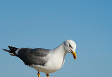 A Young Seagull With Clear Blue Skies In The Background.