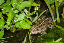 The Marsh Frog (lat. Pelophylax Ridibundus), Of The Family Ranidae, And The Water Speedwell (lat. Veronica Anagallis-aquatica), Of The Family Plantaginaceae.