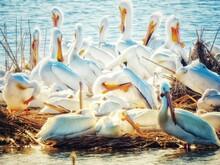 Pelicans In Lake