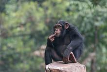 Simpanse Or Chimp Also Known As A The Chimpanzee