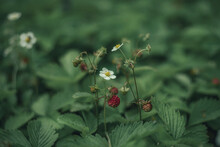 Close-up Of Wild Strawberry Plant Against Blurred Background