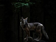 Lone Fox In Forest