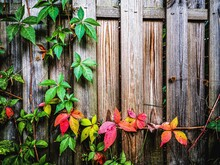 Ivy Growing On Fence